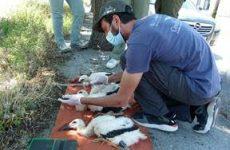 Δακτυλίωση Λευκών Πελαργών σε Ριζόμυλο και Στεφανοβίκειο